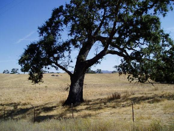 Live Oak Trees are indiginous to Southern California